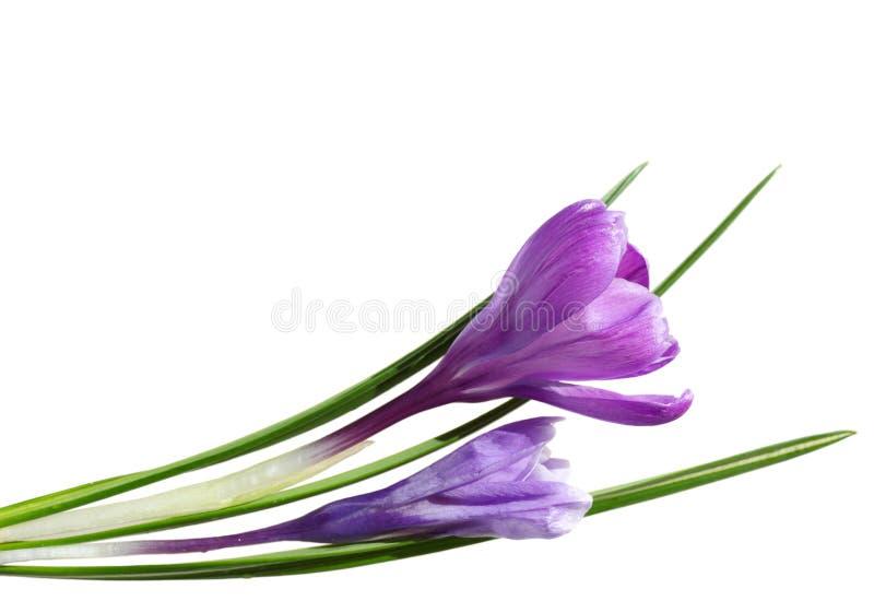 大紫色番红花 免版税库存照片