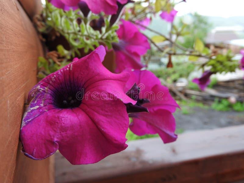大紫色花 库存图片
