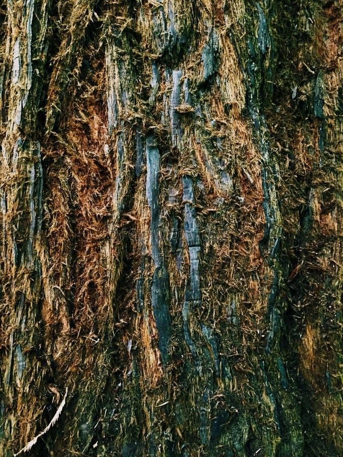 大红木树 免版税库存照片