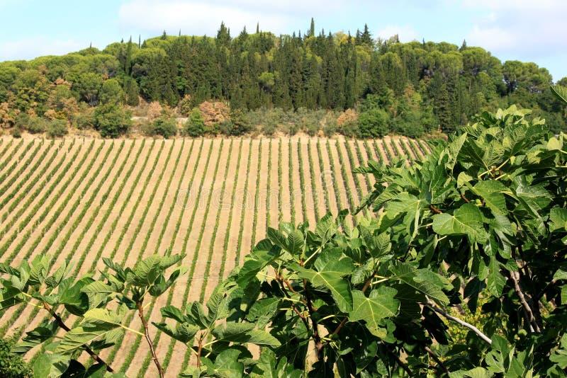 大约托斯卡纳,意大利的葡萄栽培 图库摄影