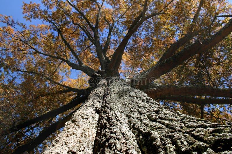 大结构树 库存照片
