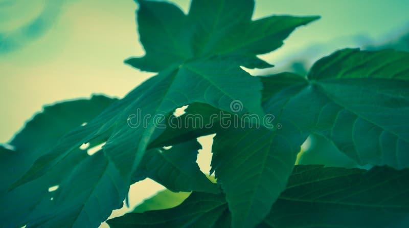 大绿色叶子 免版税图库摄影
