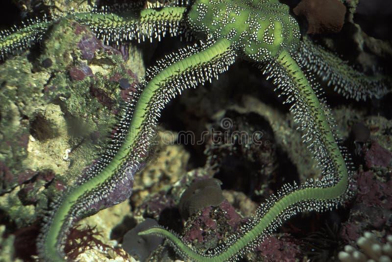 大绿色海蛇尾,Ophiomastrix venosa 免版税库存图片