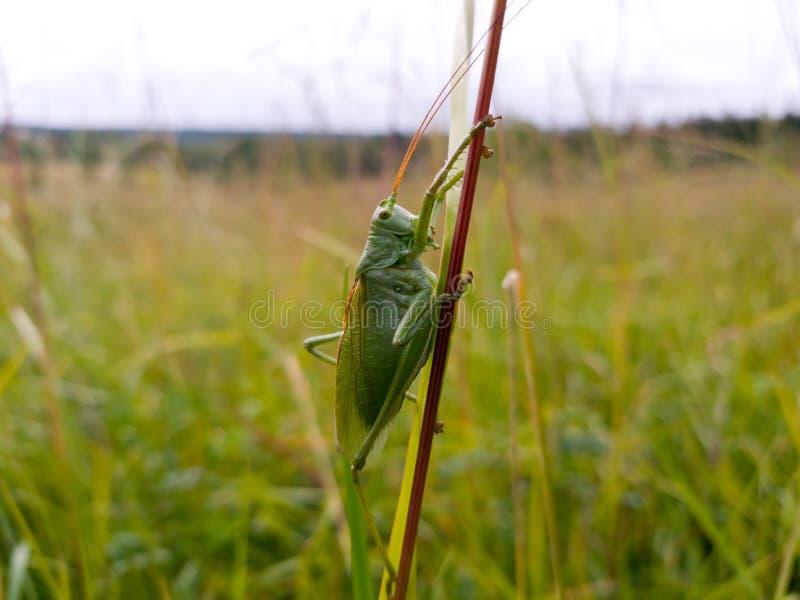 大绿色蟋蟀坐一片长的草叶在领域的 特写镜头射击了,选择聚焦 免版税库存照片