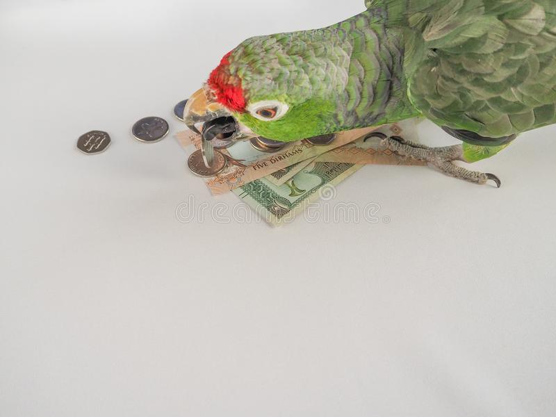 大绿色鹦鹉计数阿拉伯联合酋长国迪拉姆金钱 滑稽的鹦鹉-金融家 库存照片