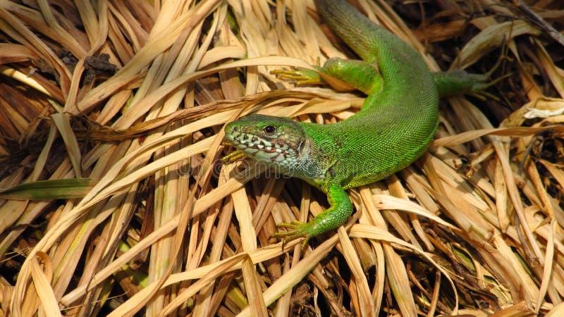 大绿蜥蜴,女性 免版税库存图片