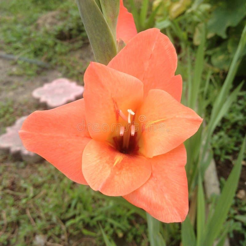 大美丽的桃红色剑兰花 免版税库存照片