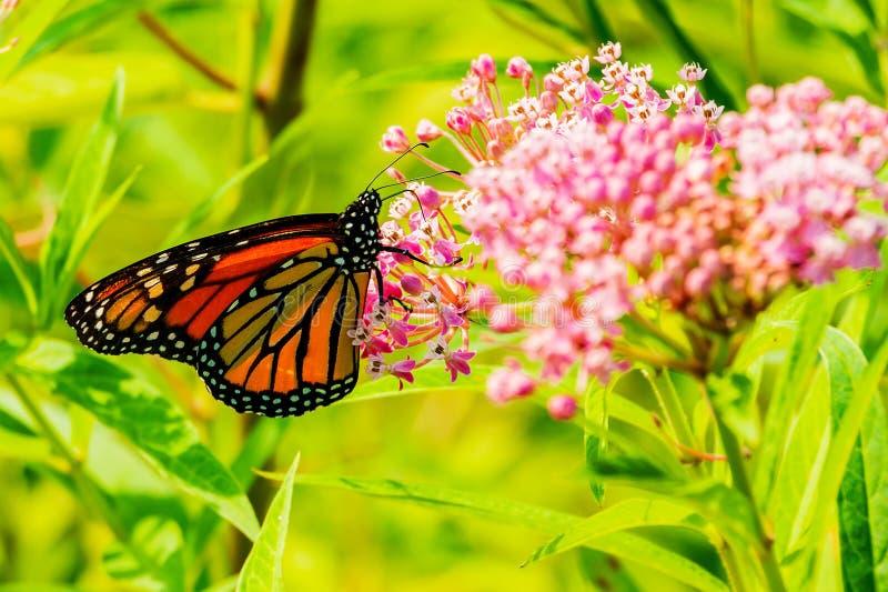 大美丽的蝴蝶喝从春天花的花蜜 图库摄影