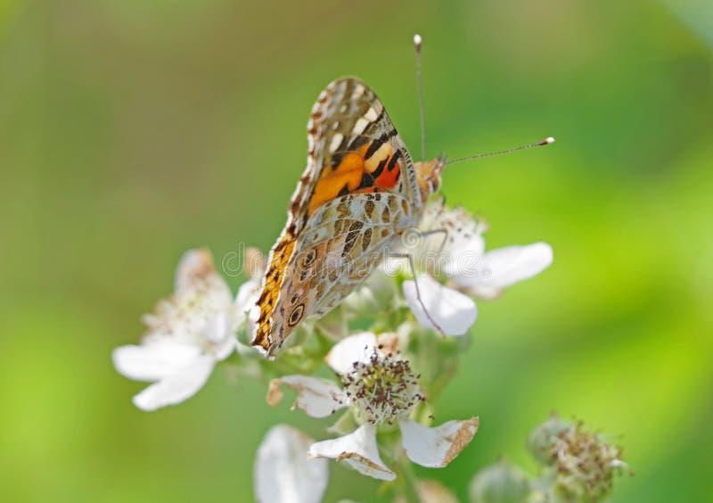 大美丽的蝴蝶 库存照片