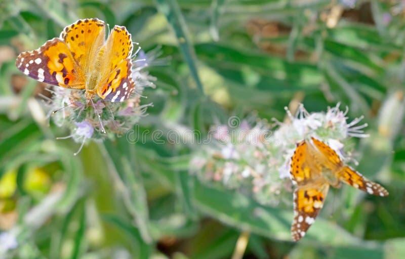 大美丽的蝴蝶 免版税库存图片