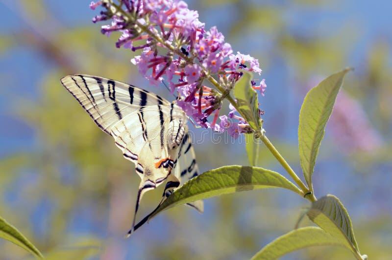 大美丽的蝴蝶 免版税库存照片