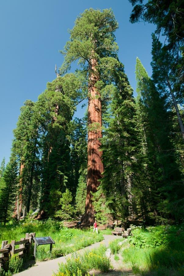 大美国加州红杉结构树 免版税库存照片