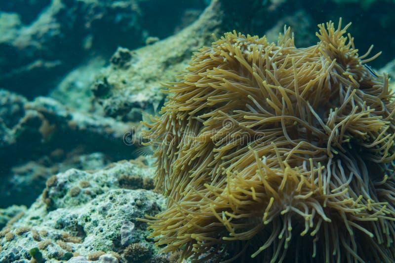 大美好的活黄色珊瑚在马尔代夫的海洋 免版税库存图片