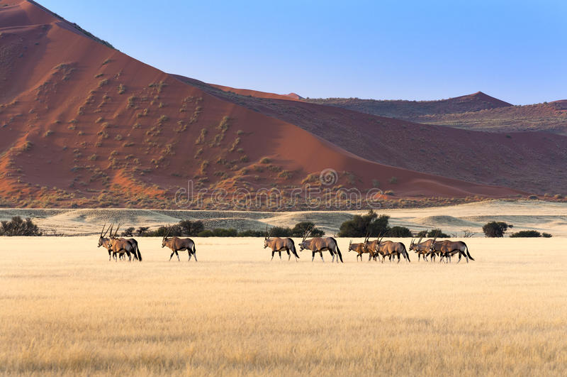 大羚羊牧群在Sossusvlei 免版税库存图片