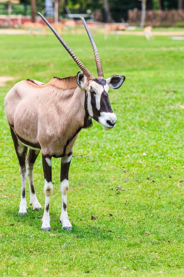 大羚羊羚羊或羚羊属羚羊属 免版税库存图片