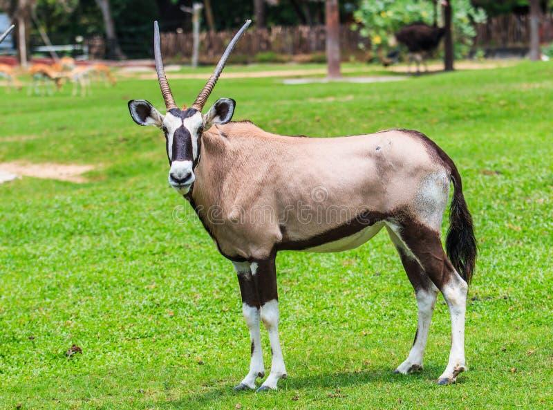 大羚羊羚羊或羚羊属羚羊属 库存照片