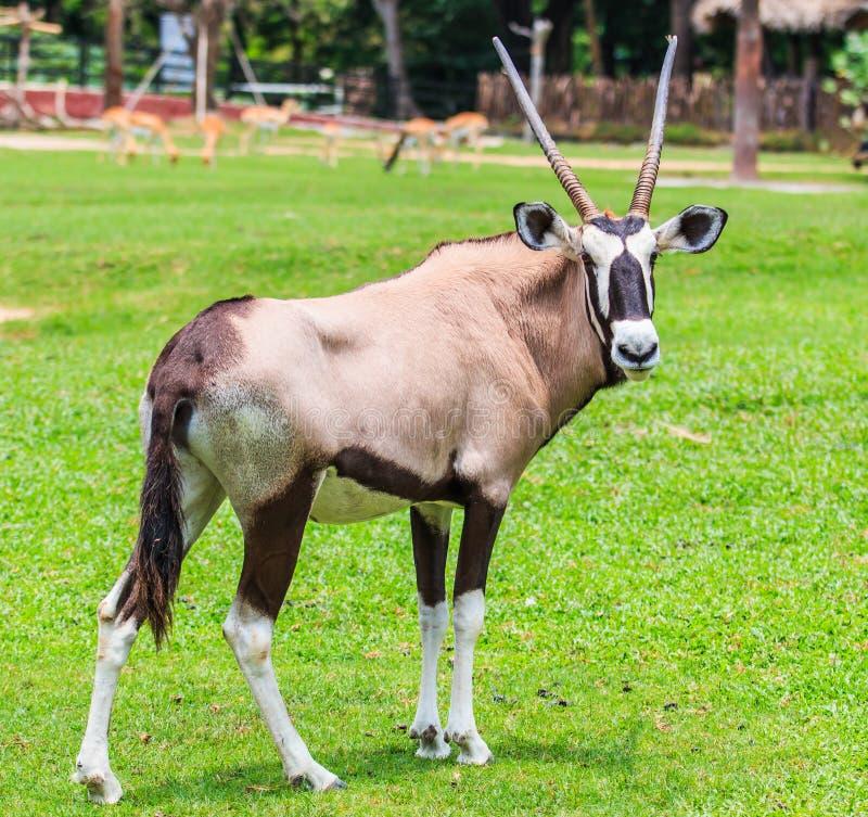 大羚羊羚羊或羚羊属羚羊属 图库摄影