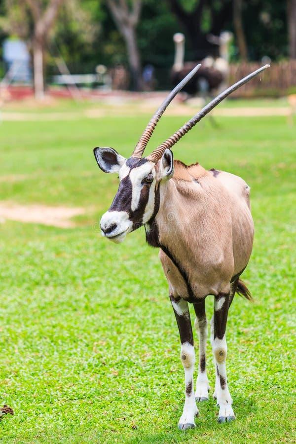 大羚羊羚羊或羚羊属羚羊属 免版税库存照片