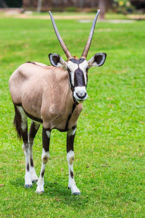 大羚羊羚羊或羚羊属羚羊属 库存图片