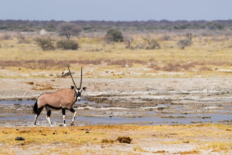 大羚羊羚羊或者羚羊属羚羊属 免版税库存图片