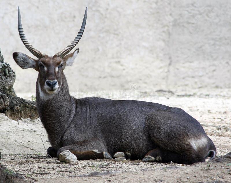 大羚羊羚羊羚羊属羚羊属 免版税图库摄影