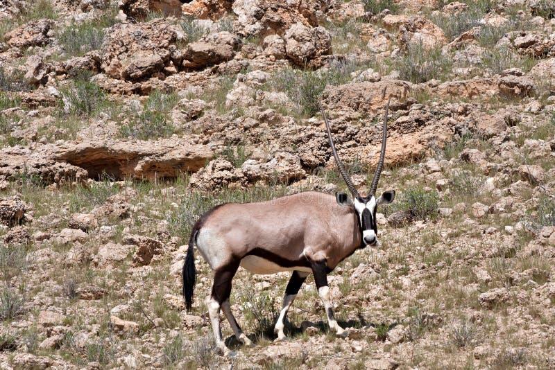 大羚羊kalahari 图库摄影