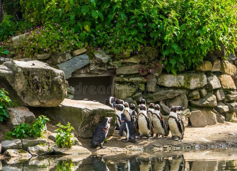 大群一起非洲黑有脚的企鹅在动物园,从非洲的海岸的热带水禽里 图库摄影