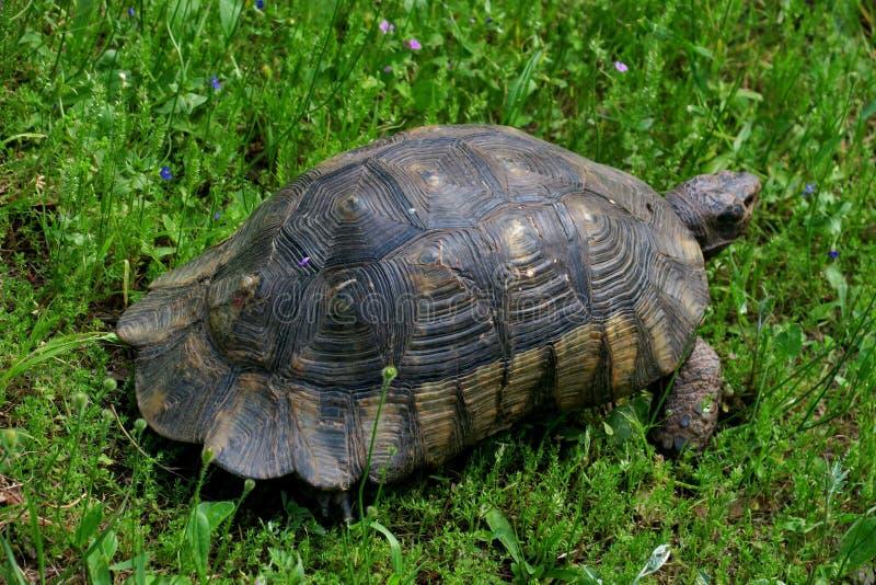 大老乌龟在绿草特写镜头的公园走 图库摄影