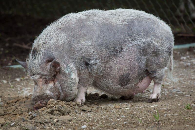 大肚子猪su scrofa domesticus.图片