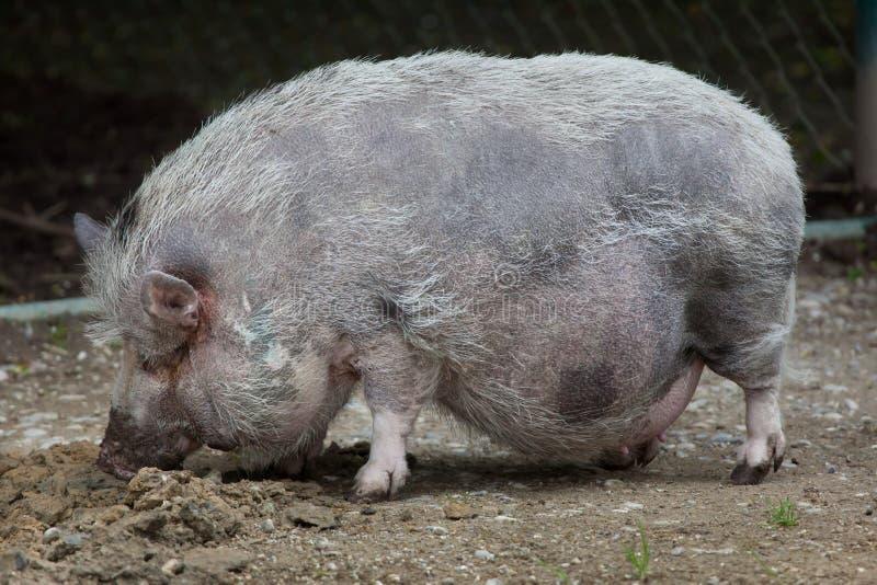 印度的厕所里有猪