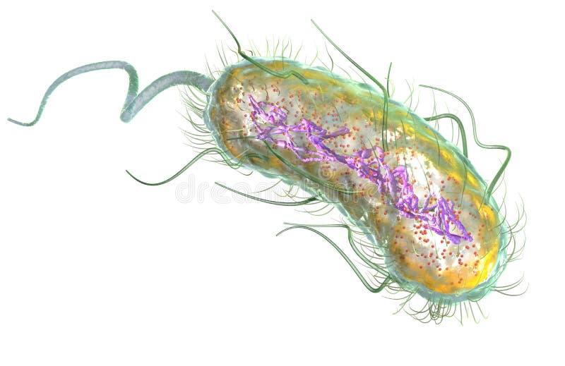 大肠埃希氏菌细菌E ?? 医疗上准确3D例证 库存例证