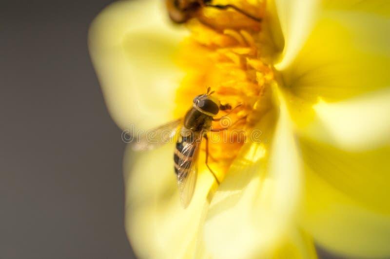 大胆弄糟在收获从花的一个新鲜,黄色向日葵的蜂花蜜 横向格式 图库摄影
