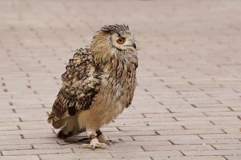 大胆的猫头鹰 免版税库存照片