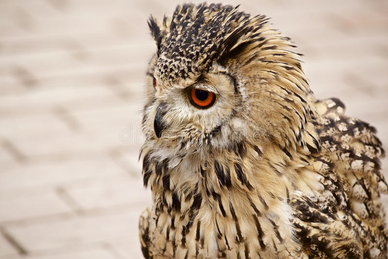 大胆的猫头鹰 免版税图库摄影
