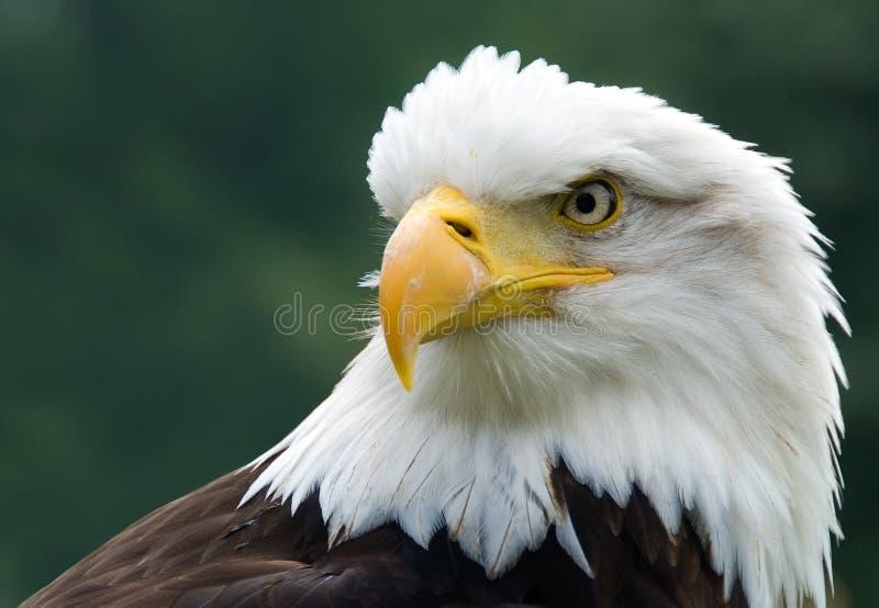 大胆的老鹰 图库摄影