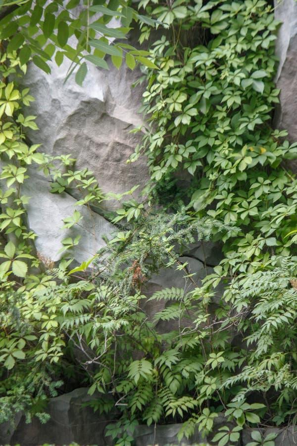 大自然石头墙壁与一些绿叶,自然本底的 伟大为设计和纹理背景 图库摄影