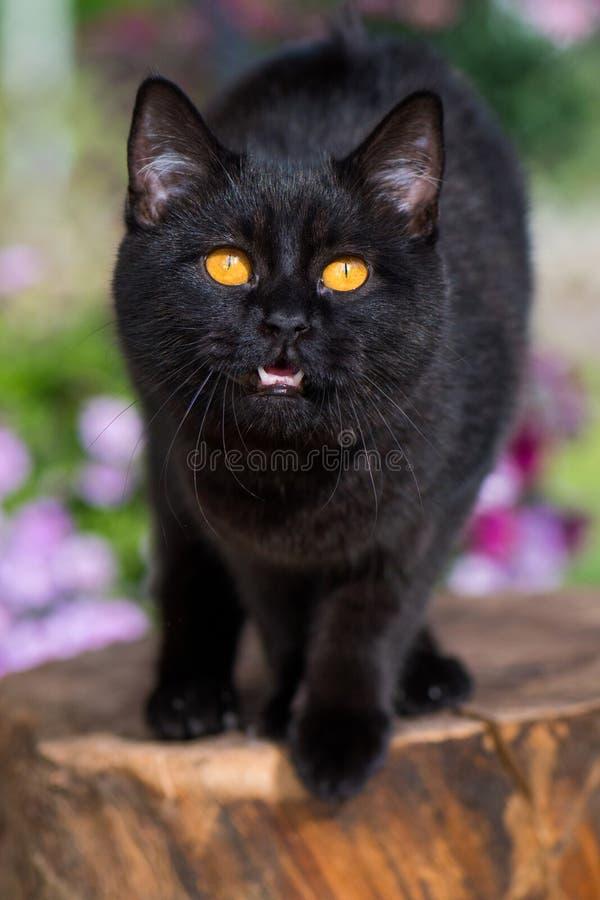 大自然背景下的短胸猫。黄眼黑胸猫在自然背景中的画像 库存图片