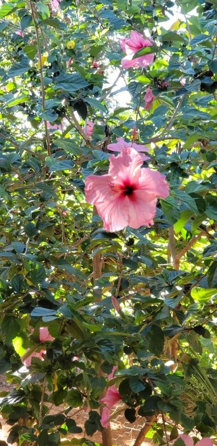 大花变粉红色美丽 免版税库存图片