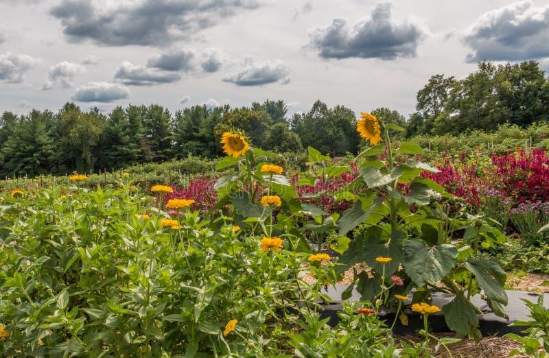 大花园风景用向日葵和各种各样的野花床 免版税图库摄影