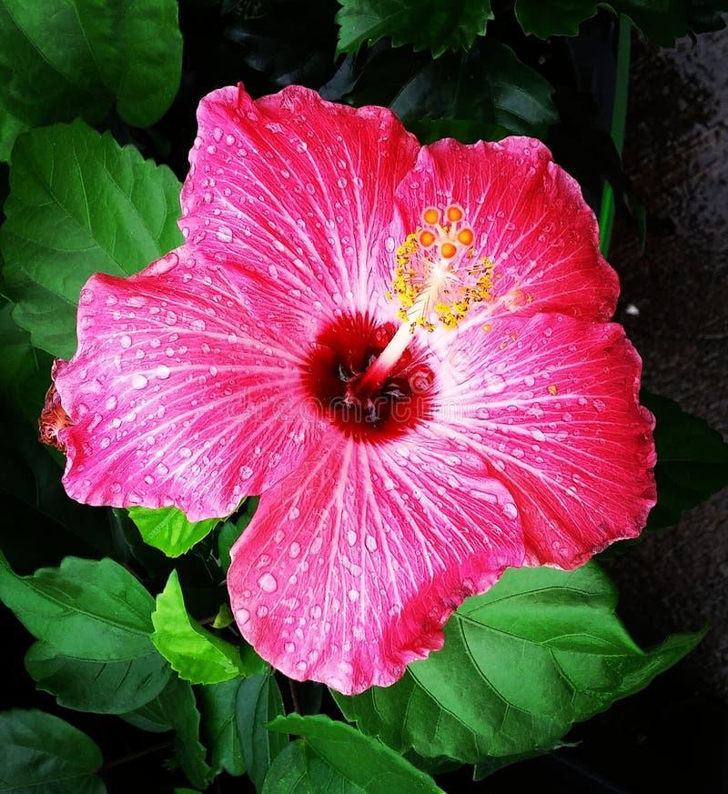 大花的波西亚树 库存图片