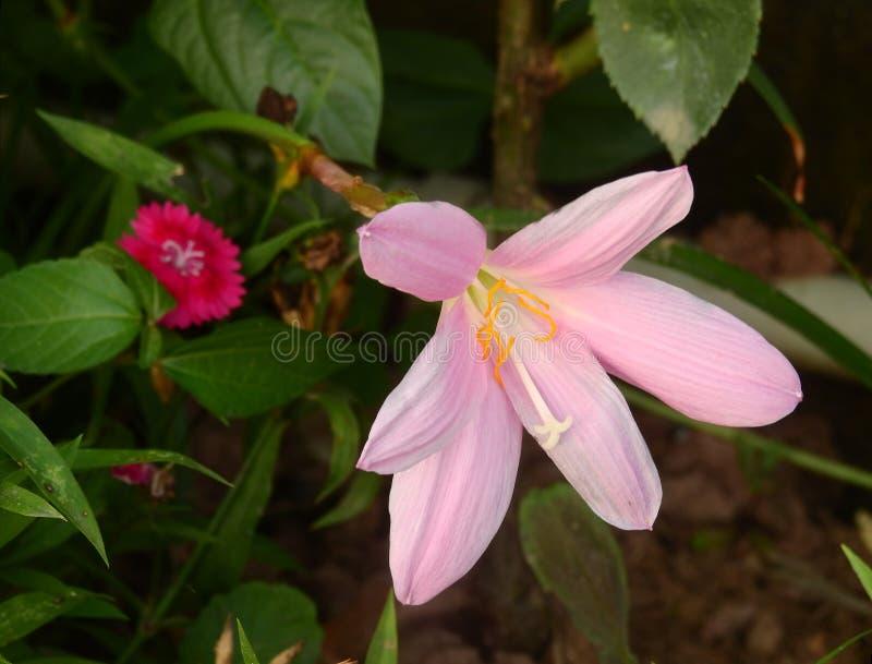 大花的Zephyranthes 免版税库存照片