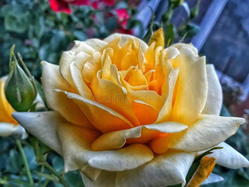 大芽的亮玫瑰特写 免版税库存图片
