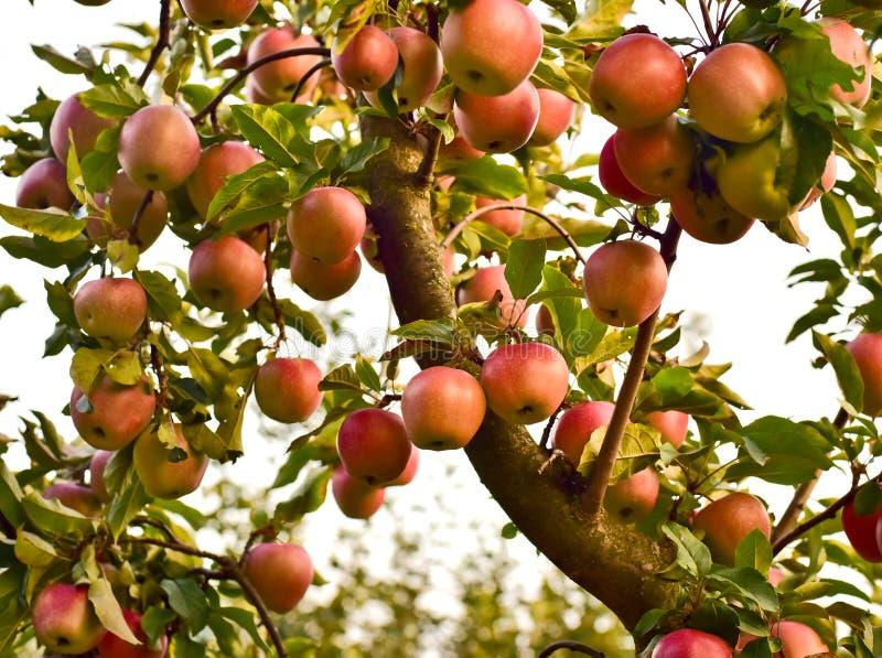 大苹果树分支和很多苹果 免版税库存图片