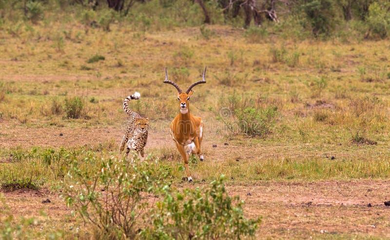 大草原最快速的猎人  mara马塞语 库存图片