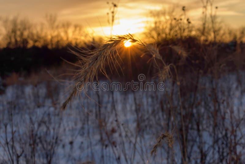 大草原植物在冬天 库存照片