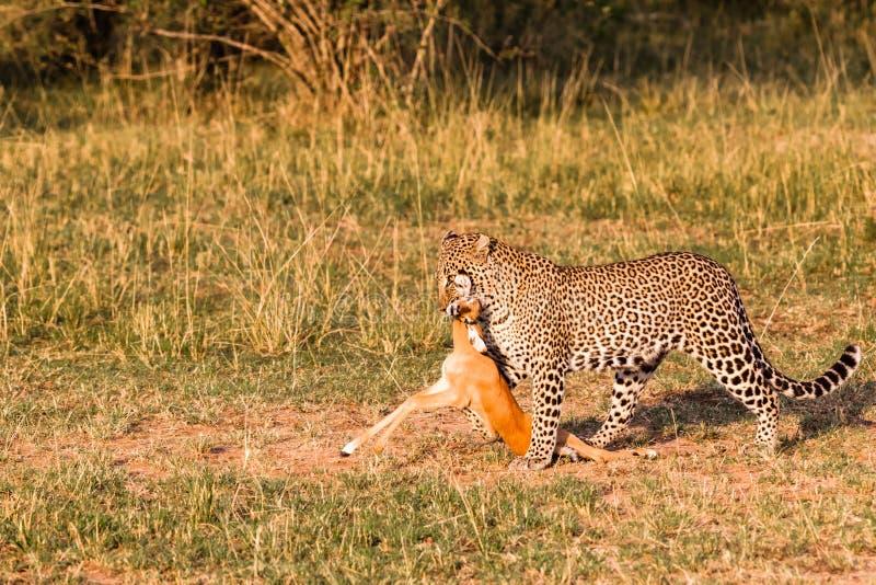 大草原猎人  豹子 肯尼亚 免版税库存图片