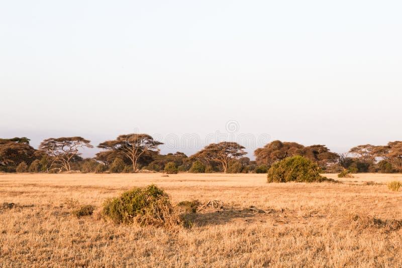 大草原的一个小森林 Amboseli 肯尼亚,非洲 库存照片
