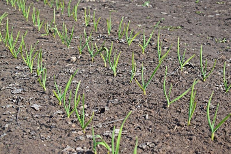 大蒜在庭院里增长 免版税库存图片