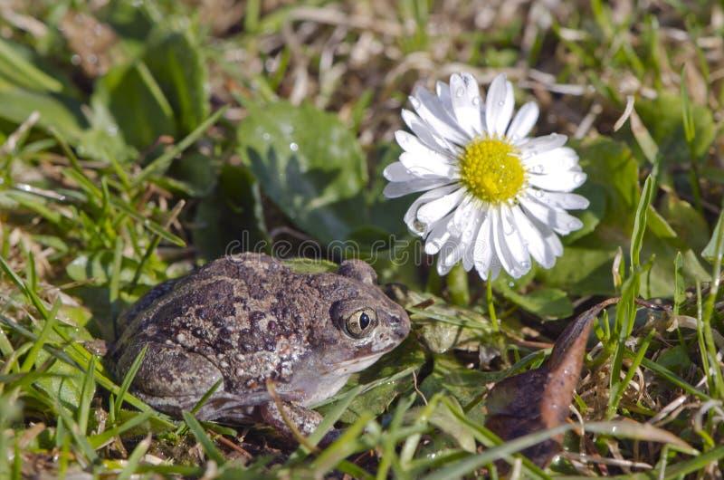 大蒜在春天草和花的青蛙(Pelobates fuscus)蟾蜍 免版税图库摄影