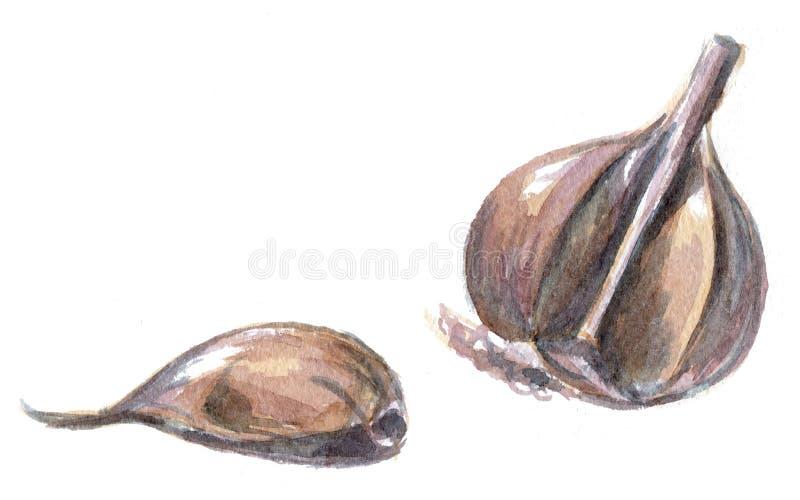 大蒜 在白色背景的手拉的水彩绘画 向量例证